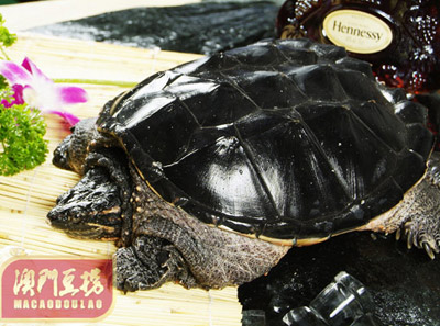 澳门豆捞鳄鱼龟